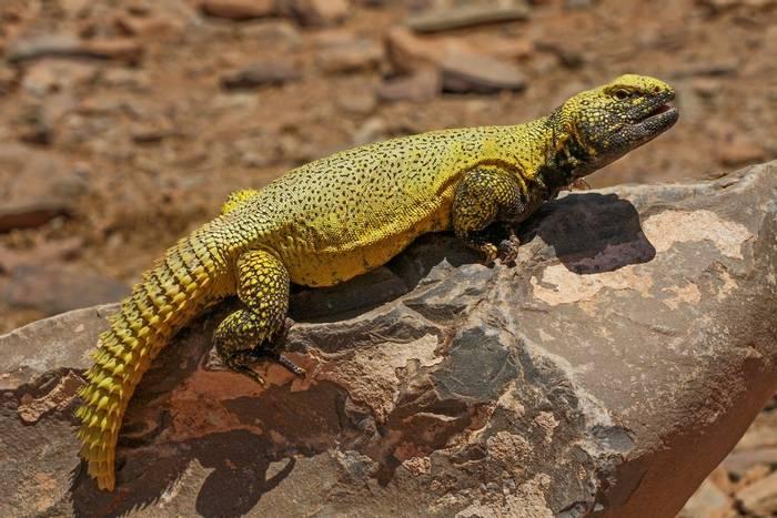 Moroccan Spiny-tailed Lizard (Uromastyx nigriventris)
