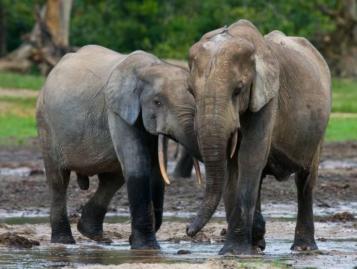 African Forest Elephants, Congo shutterstock_352478312.jpg