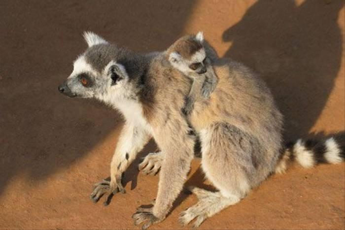 Ring-tailled Lemur, Berenty