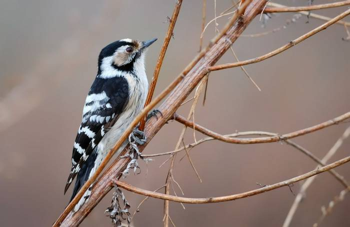 Lesser Spotted Woodpecker shutterstock_258010163.jpg