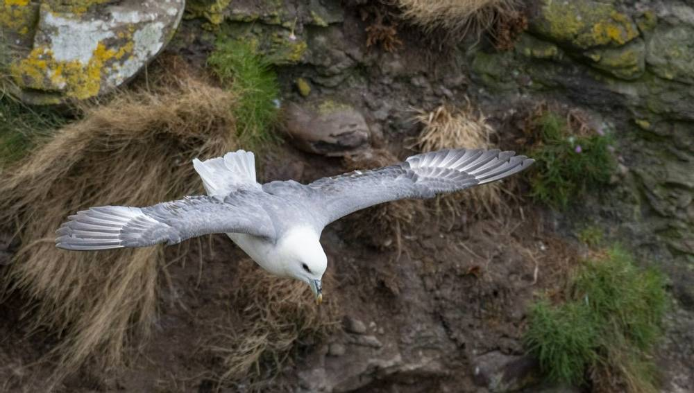 Fulmar, Wildlife Holidays