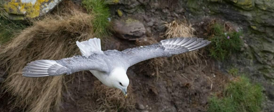 A Fulmar (Fulmarus glacialis) in flight