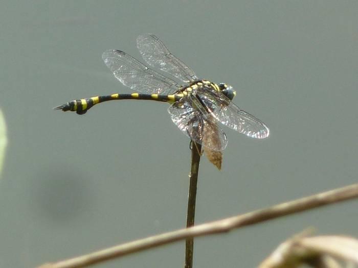 Common Clubtail, Ictinogomphus rapax (Steve Dutmer)