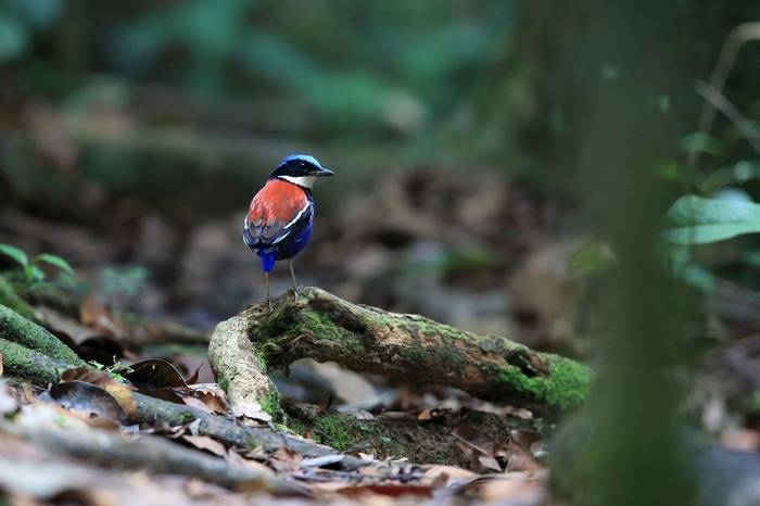 Blue Headed Pitta, Borneo Shutterstock 682237693