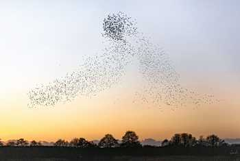 Starlings (Dan Lay)