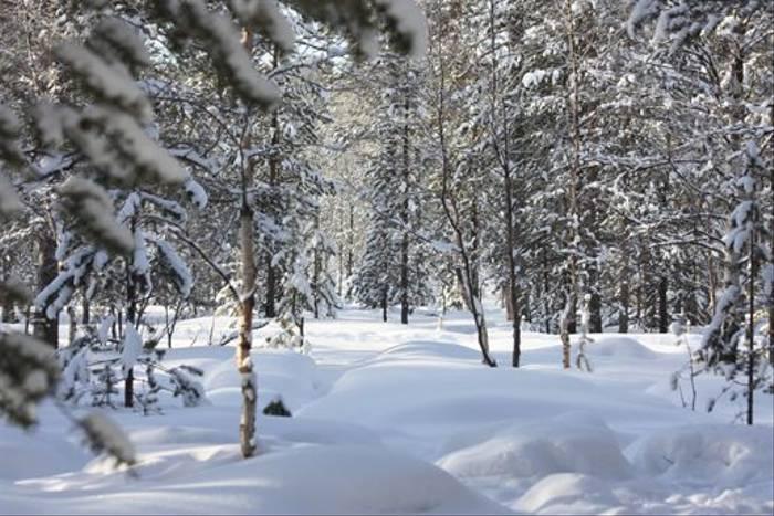 Snow covered forest (Jennifer Horn)