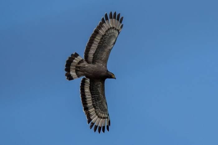 Crested Serpent-eagle, Sri Lanka shutterstock_1445063096.jpg