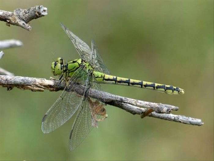Green Snaketail, Ophiogomphus cecilia (Dave Smallshire)