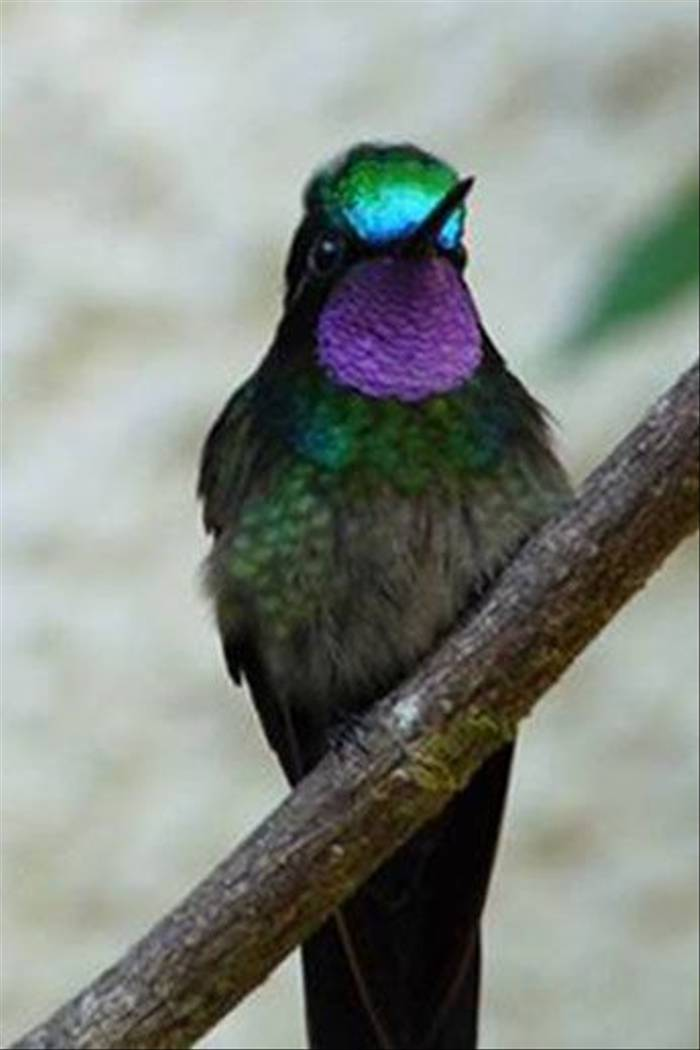 Purple Throated Mountain Gem, male, Monteverde (John Lockwood)