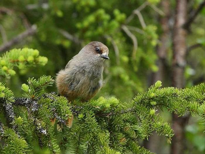 Siberian Jay (Glyn Sellors)