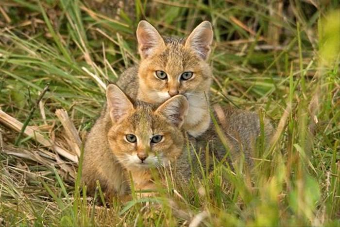 Jungle Cats, Koshi Tappu (Allan Hale)