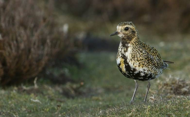 Wildlife - Golden Plover - AdobeStock_226155999.jpeg