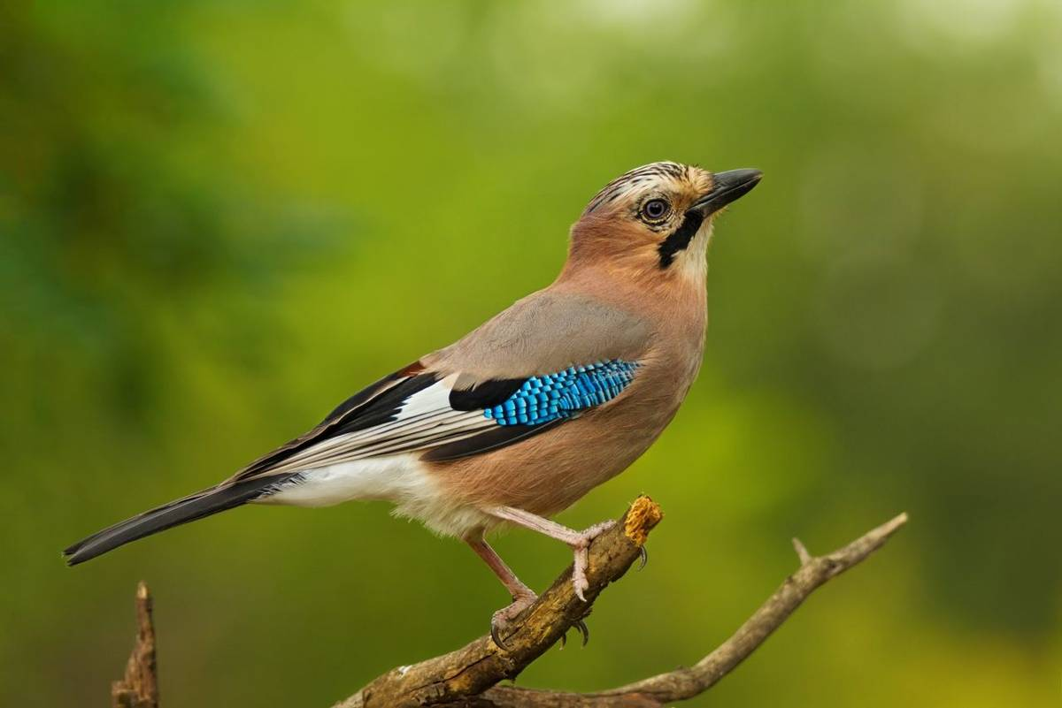 Beautiful bird the ordinary jay sitting on tree branch on green nature background