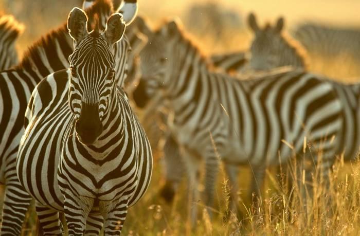Plains Zebra, Masai Mara