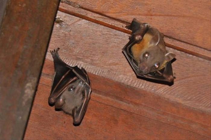 Short-nosed Fruit Bats (Derek Brown)