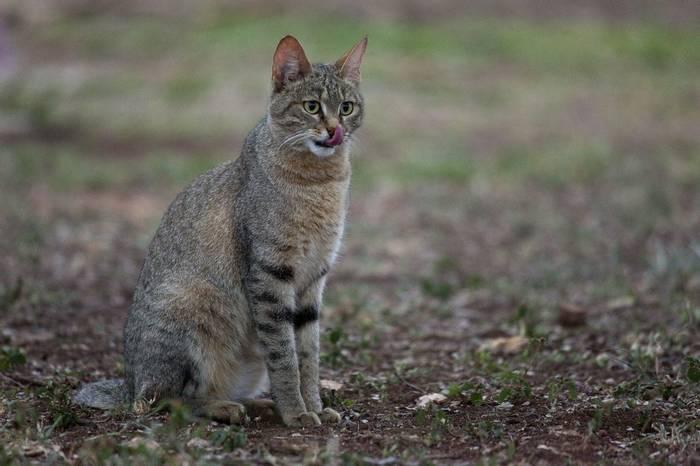 African Wildcat (Leon Marais)
