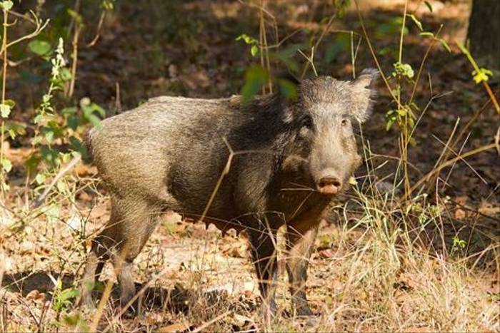 Indian Wild Boar (Paul Young)