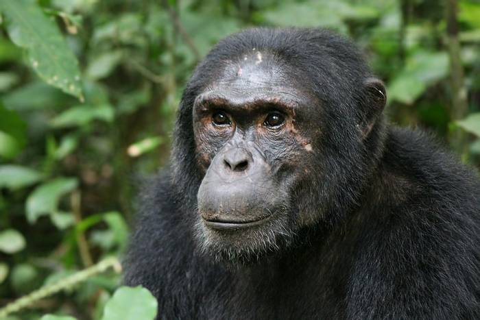 Common Eastern Chimpanzee shutterstock_457063468.jpg