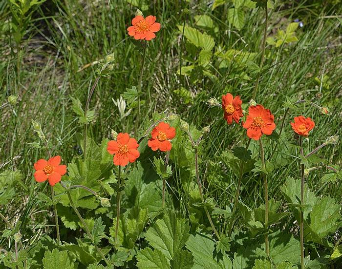 Dwarf Orange Avens or Red Avens (Geum coccineum), Andrew Cleave