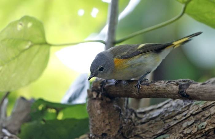 American Redstart (autumn plumage) , USA shutterstock_1316079179.jpg