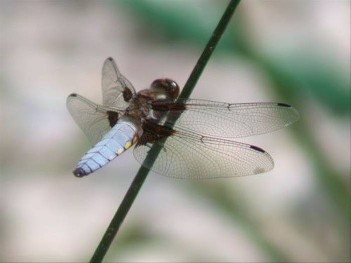 Broad-bodied Chaser (Paul Harmes)