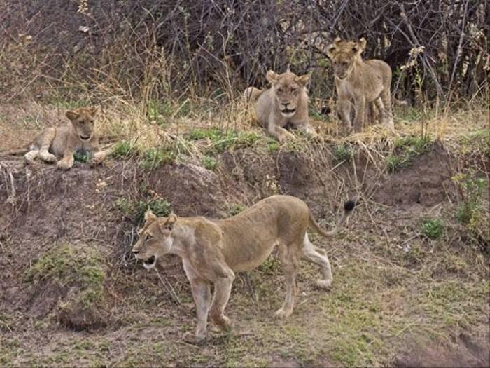 Lion Pride (Ron Foulkes)