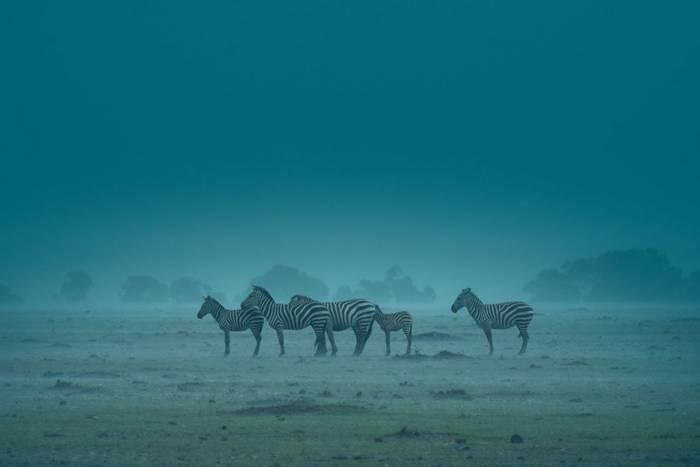 Plains Zebras (John Haskew) (2).jpg