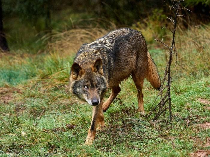 Iberian Wolf, Spain shutterstock_611724149.jpg
