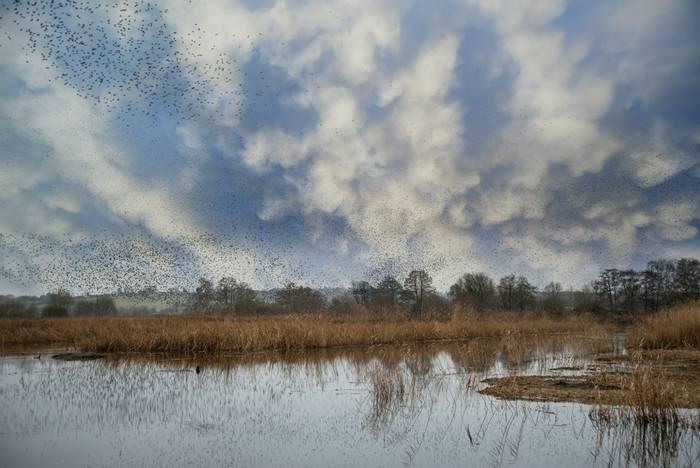 Starlings, Somerset, UK shutterstock_567331984.jpg