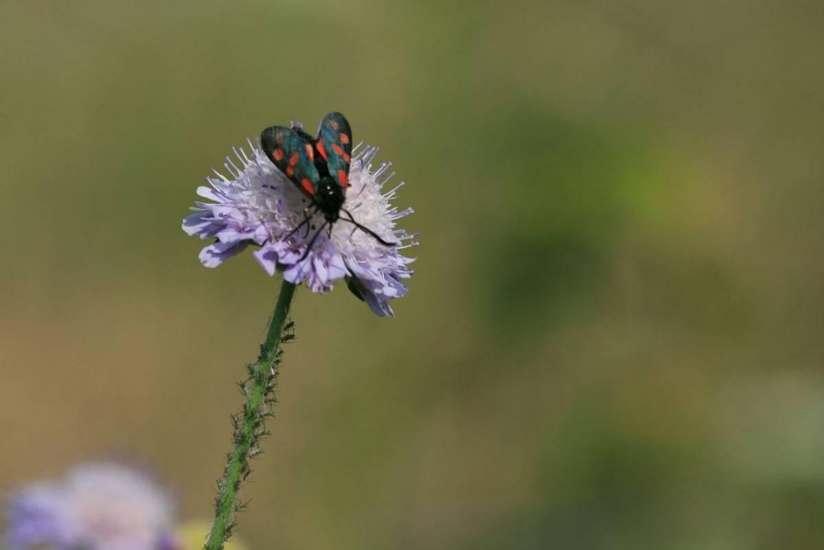 Five_Spot_Burnet_Moth.jpg