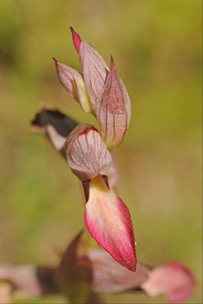 Tongue Orchid <i>Serapias lingua</i> (David Morris)