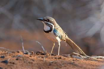Long-tailed Ground Roller (Aniket Sardana)