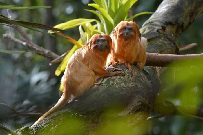 Golden Lion Tamarins, Brazil Shutterstock 1139928524 (1)