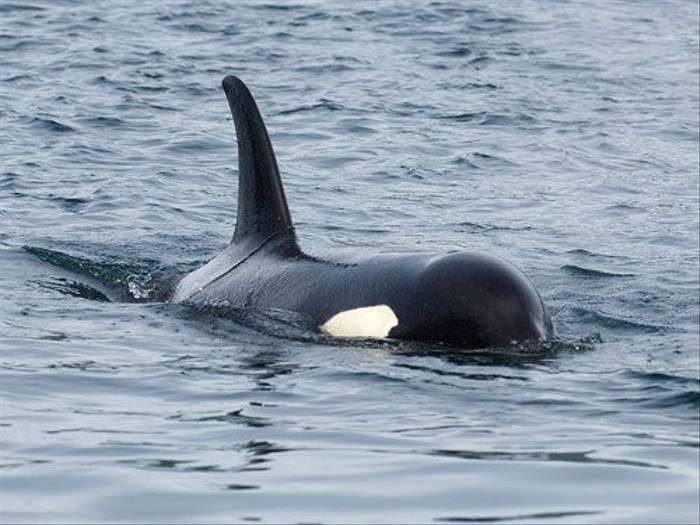 Orca (Paul Marshall)