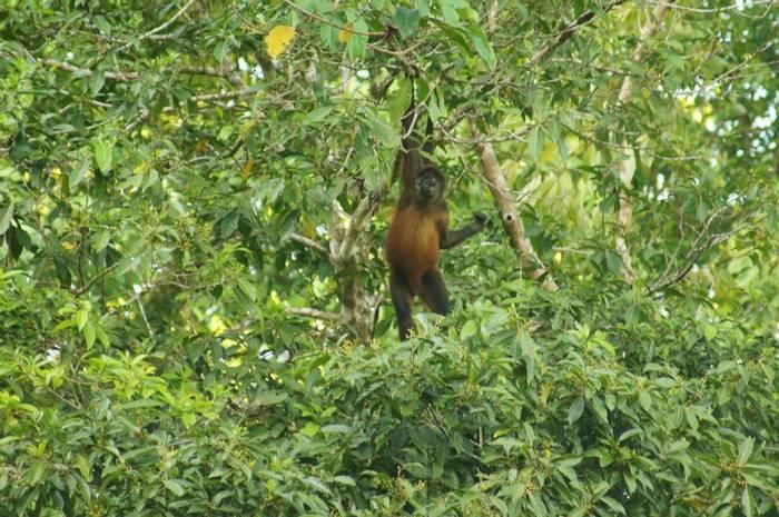 Central American Spider Monkey (Brian West)