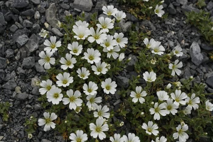 Cerastium latifolium (Kerrie Porteous)