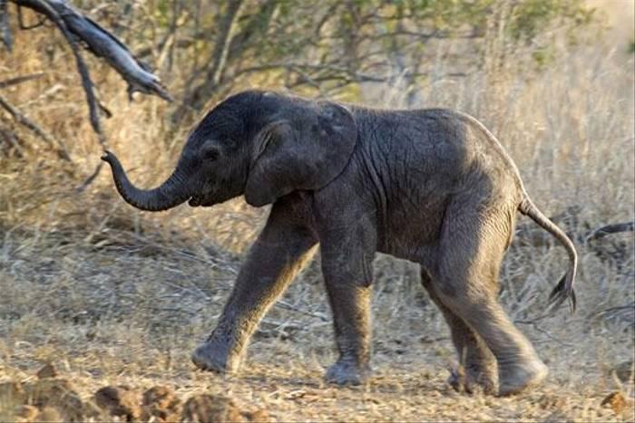 Elephant Calf (Leon Marais)