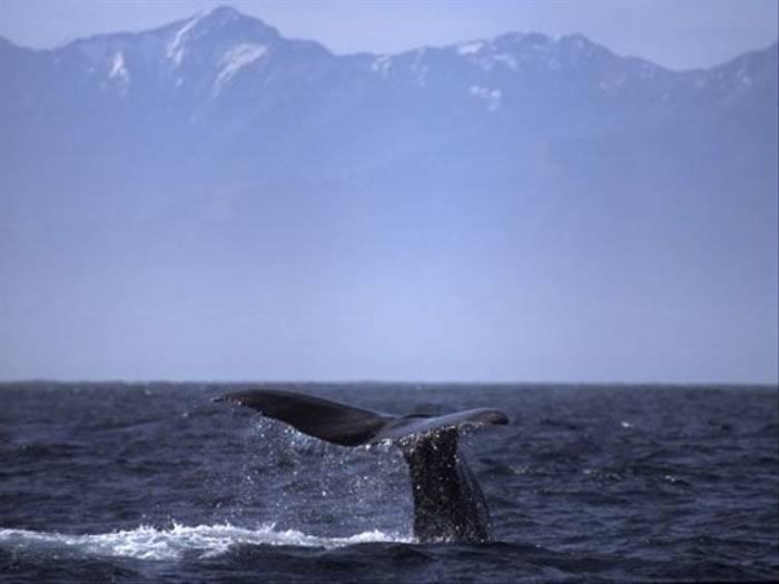 Sperm Whale (Mark Schofield)