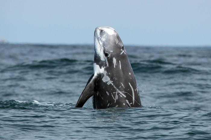 Risso's Dolphin. shutterstock_221187100.jpg