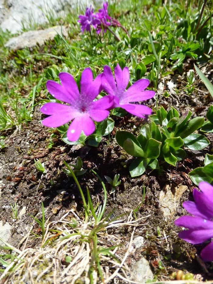 Primula integrifolia (Kerrie Porteous)