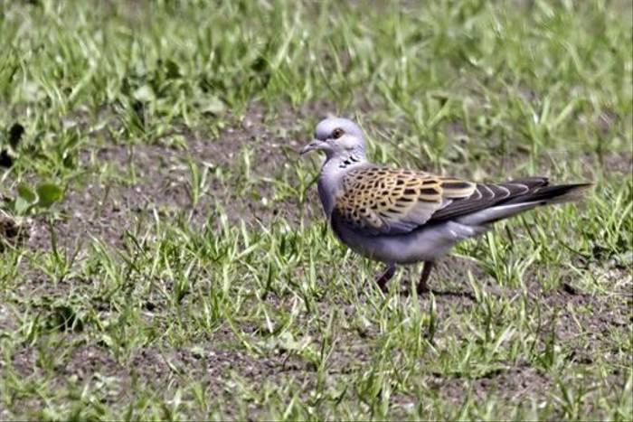 Turtle Dove (Colin Brown)