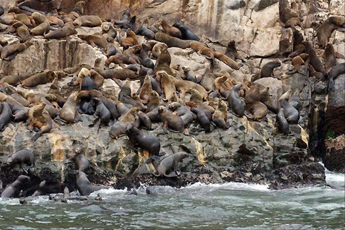 South American Sea Lion, Palominos Islands (David Allison)