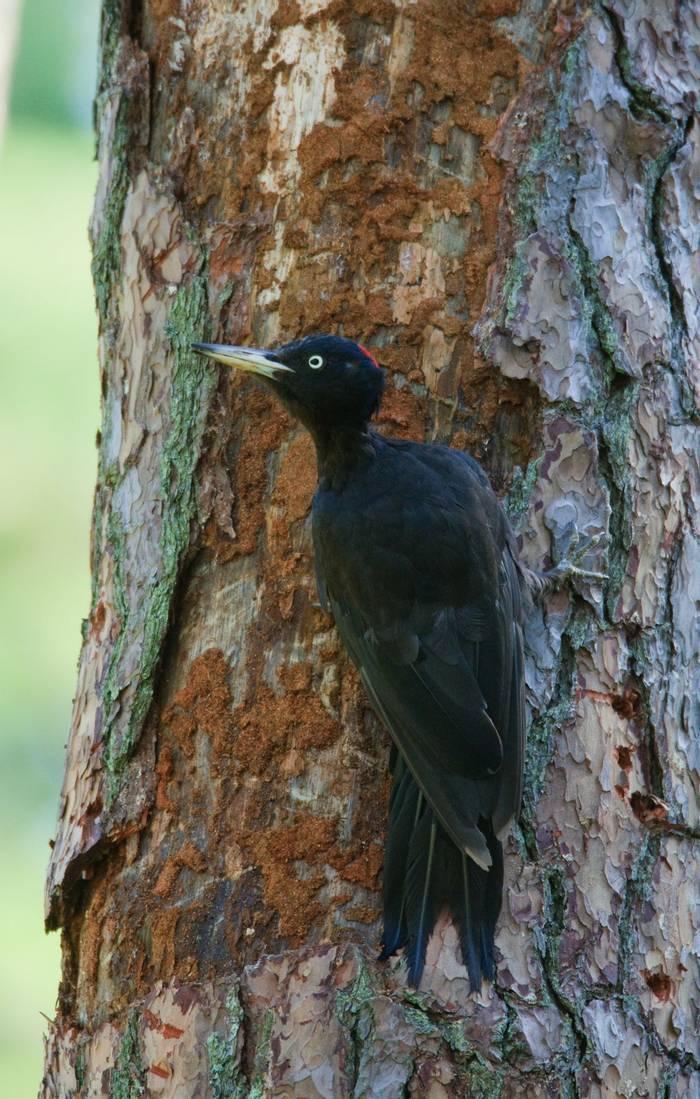 Black Woodpecker (Mati Kose)