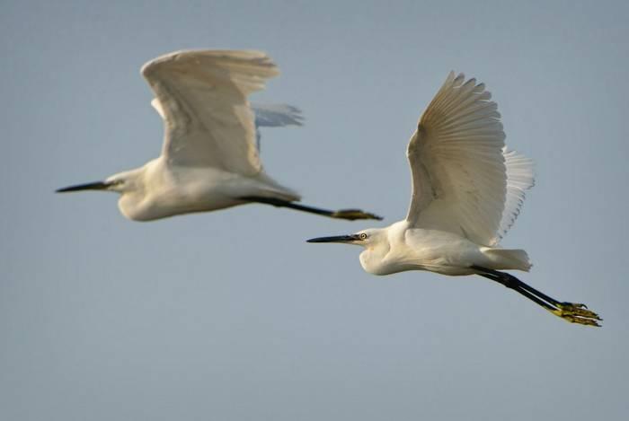 Little Egret, Europe shutterstock_1754678852.jpg