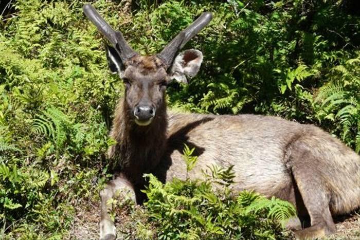 Sambar Deer (Rajan Jolly)