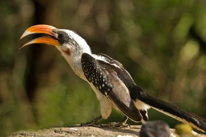 Jackson's Hornbill, Lake Baringo