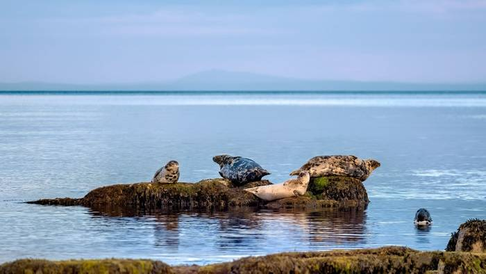 Grey Seals, Moray Firth, Scotland shutterstock_1458582512.jpg