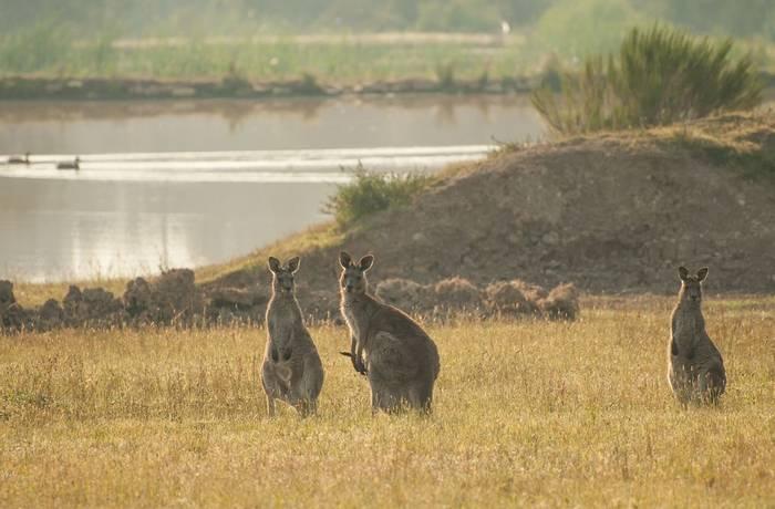 Eastern Gray Kangaroos
