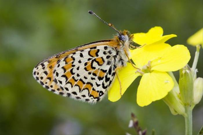 Lesser-spotted Fritillary