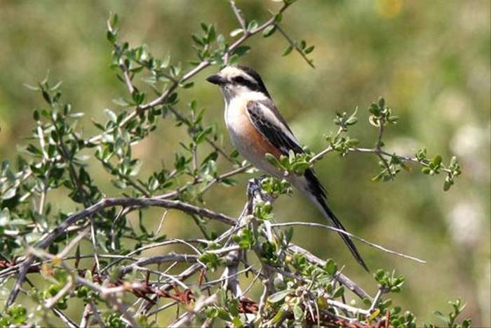Masked Shrike (Alan Outen)
